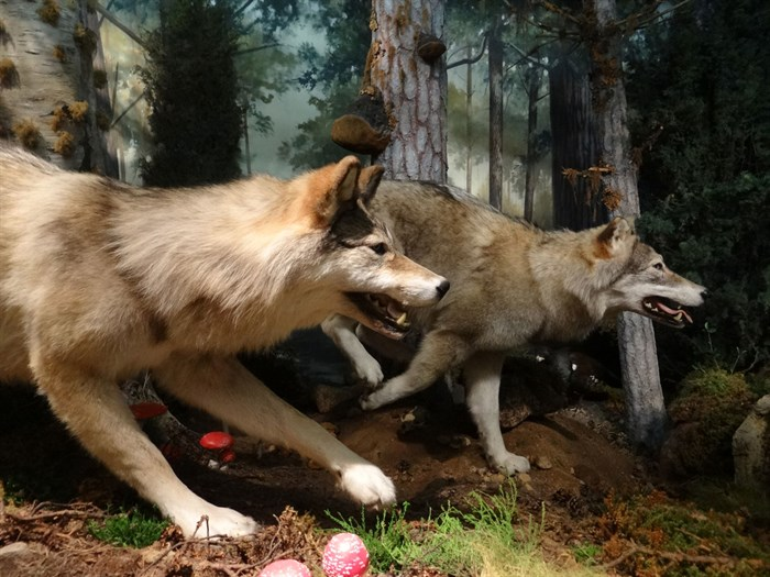 Wolves in the Beginnings gallery